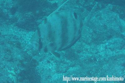 深海魚!ヒメクサアジ~