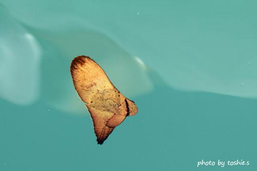 港 ナンヨウツバメウオの幼魚