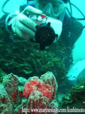 アンドの鼻 オオモンカエルアンコウの幼魚