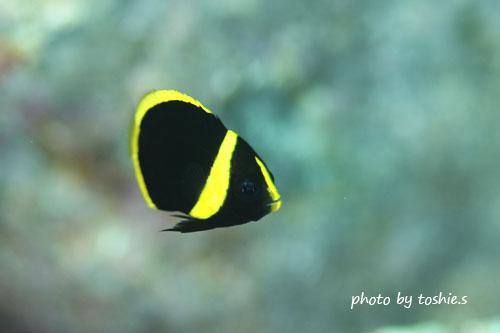 グラスワールド キンチャクダイの幼魚