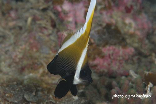 サンビラ ツノハタタテダイの幼魚