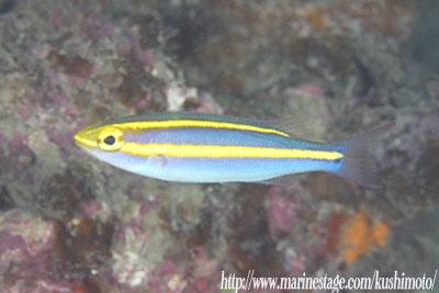 アンドの鼻 キツネウオの幼魚