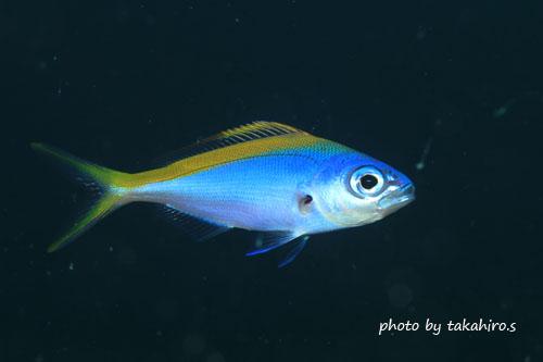 備前 ウメイロモドキの幼魚