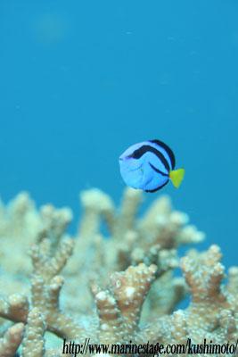 住崎 ナンヨウハギの幼魚