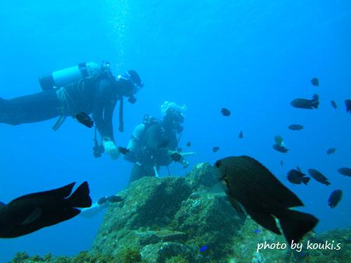 イスズミ礁 ナガサキスズメダイの群れ