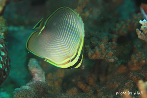 イスズミ礁 ミカドチョウチョウウオ