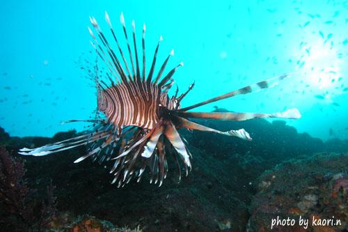 双島沖2の根 ハナミノカサゴ