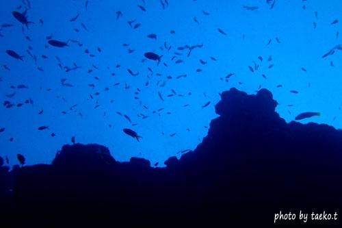 双島沖2の根 キンギョハナダイのシルエット