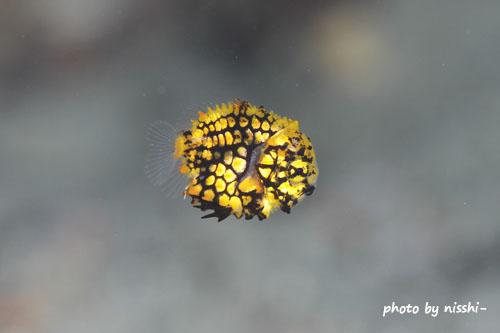サンビラ マツカサウオの極小幼魚