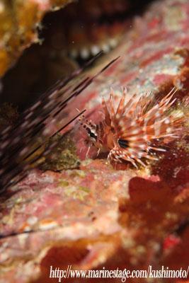 住崎 キリンミノカサゴの幼魚