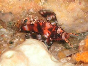 備前 ヒレボシミノカサゴ幼魚