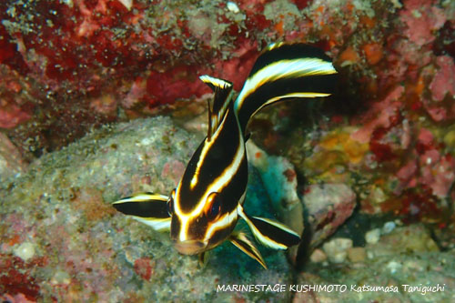 住崎 ヒレグロコショウダイの幼魚