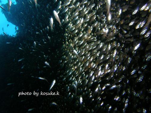 双島沖北の根 キンメモドキの大群