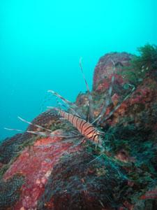 吉右衛門 ハナミノカサゴの若魚