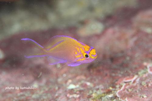 内浦ビーチ ハナゴンベの幼魚20141129