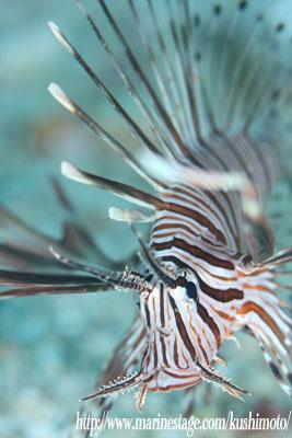 イスズミ礁 ハナミノカサゴの若魚