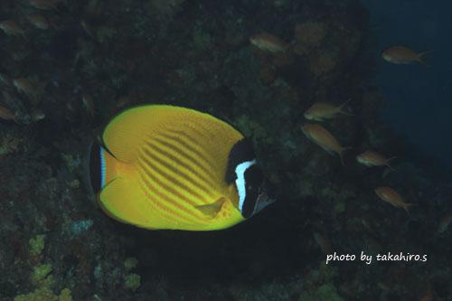 浅地 ツキチョウチョウウオの成魚