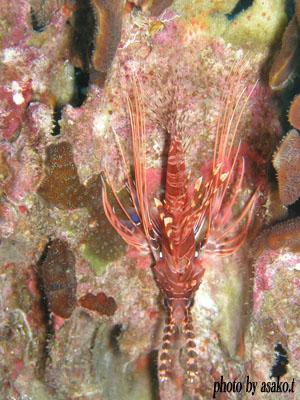 ネッタイミノカサゴの若魚