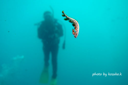 住崎 泳ぐヒオドシユビウミウシ