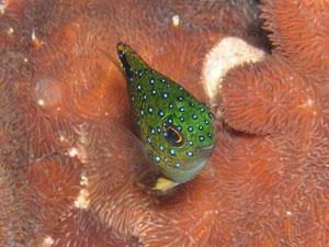 グラスワールド ルリホシスズメダイの幼魚