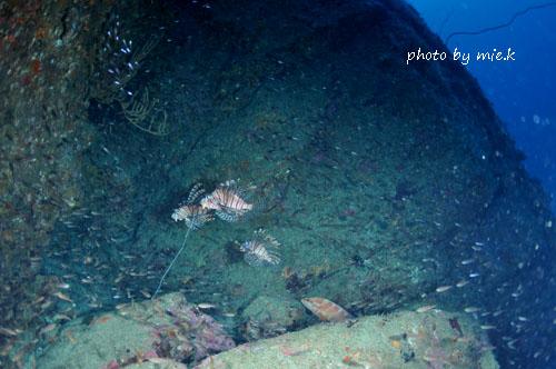双島沖北の根 ハナミノカサゴとユカタハタ