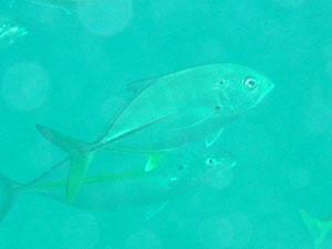 中黒礁 シマアジの群れに混じるギンガメアジ
