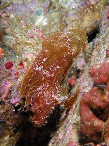 住崎 ハダカハオコゼの幼魚