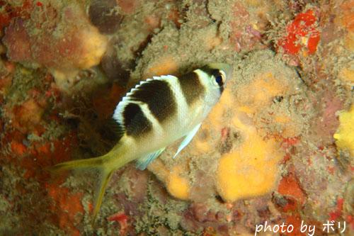 イスズミ礁 ヨコシマクロダイ
