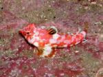 備前 ミヤケテグリの幼魚
