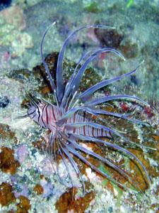 アンドの鼻 ハナミノカサゴの幼魚