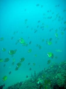 イスズミ礁 チョウチョウウオの大行進