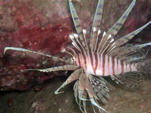 内浦ビーチ ミノカサゴの若魚