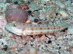 イスズミ礁 オトメハゼ