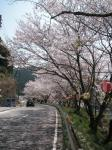 佐田の桜3
