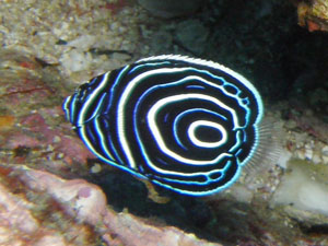 備前 タテジマキンチャクダイの幼魚