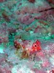 グラスワールド ミヤケテグリの幼魚