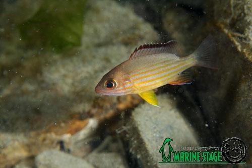 くじの川汽水域 オキフエダイの幼魚
