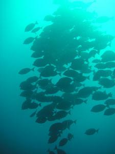 イスズミ礁 ニザダイが壁になっていた