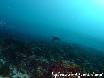 グラスワールド 逃げ去るアオウミガメ