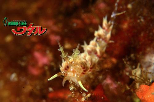 イスズミ礁 ネアカミノウミウシ