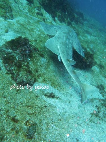 グラスワールド 泳ぎ去るカスザメ