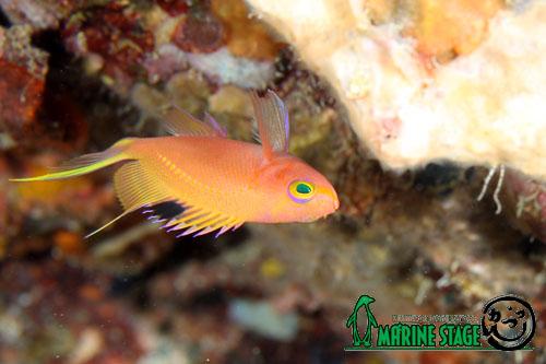 住崎 サクラダイの幼魚