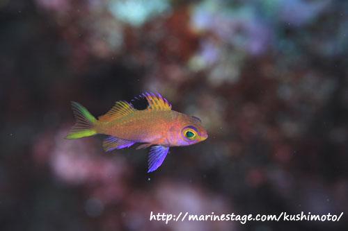 グラスワールド サクラダイの幼魚