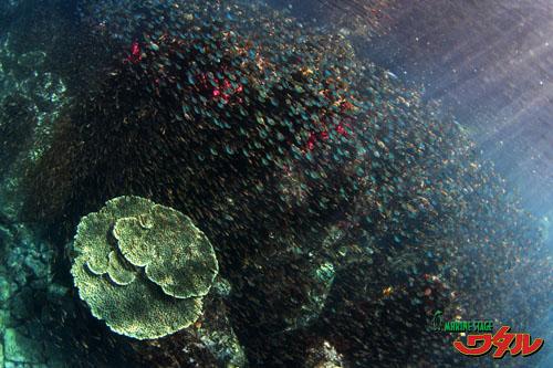 内浦ビーチ 魚群