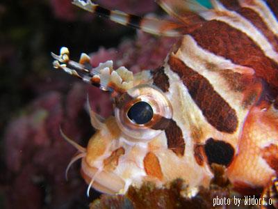 イスズミ礁 キリンミノカサゴ