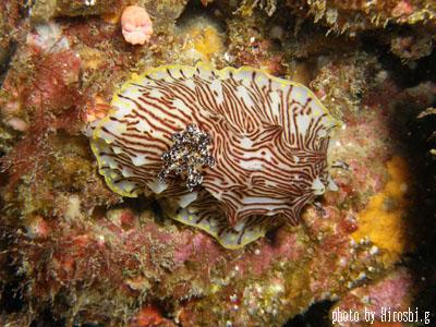 イスズミ礁 パイナップルウミウシ