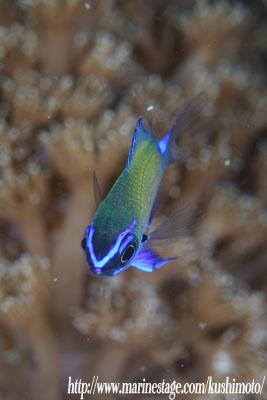 アマミスズメダイの幼魚