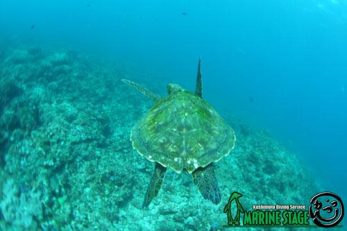 グラスワールド 泳ぎ去るアオウミガメ