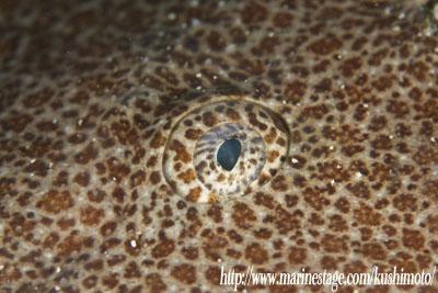 カスザメの目