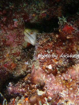 イスズミ礁 ワカウツボ